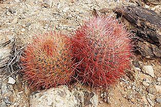 Joshua Tree NP - Barrel Cactus -2.jpg