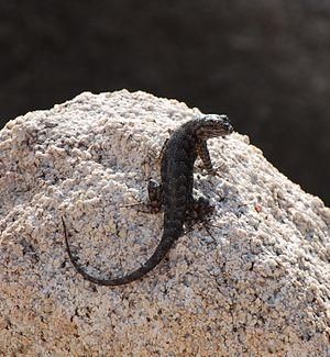 Sceloporus occidentalis longipes - Image: Joshua Tree National Park Great Basin fence lizard 07