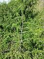 Juniperus communis subsp. communis sl9.jpg