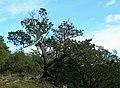 Juniperus maritima Anacortes1.jpg