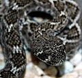 Juvenile Western Diamondback Rattlesnake (Crotalus atrox) (51305423).jpg