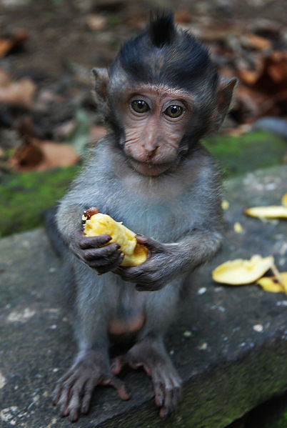 File:Juvenile monkey at Ubud Monkey Forest.jpg