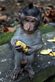 Juvenile monkey at Ubud Monkey Forest.jpg