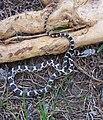 Juvenile ratsnake crop.jpg