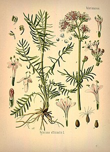 Семена Валериа́на лека́рственная (Valeriana officinalis)