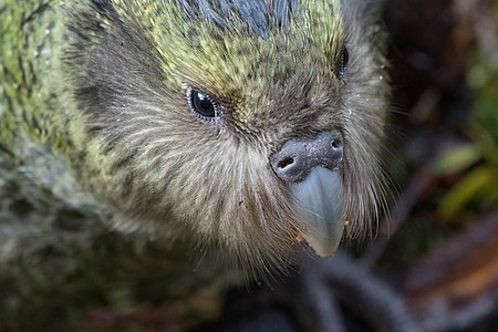 Juvenile kākāpō on Anchor Island in Dusky Sound, New Zealand