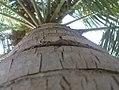 K.Pudur Village Coconut tree.jpg