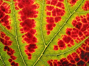 Autumn leaf color - In this leaf, the veins are still green, while the other tissue is turning red. This produces a fractal-like pattern
