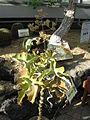 Kalanchoe beharensis2.jpg