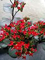 Kalanchoe with red flower.jpg