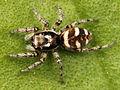Kaldari Salticus scenicus female 03.jpg