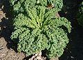 Kale J1.jpg