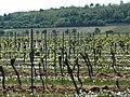 Kallstadt vineyard spring.jpg