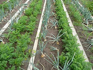 Kitchen garden - Companion planting of carrots and onions