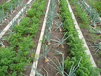 Polyculture - Polyculture providing useful within-field diversity: companion planting of carrots and onions. The onion smell puts off carrot root fly, while the smell of carrots puts off onion fly.