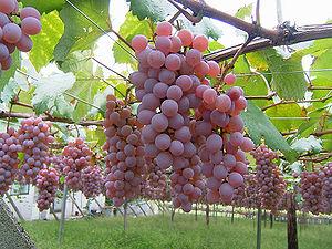 Koshu (grape) - Koshu grape