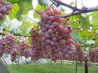 Kōshū, Yamanashi - Katsunuma vineyard