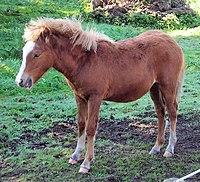 Kerry Bog Pony, Bog Village, Kerry, Ireland.jpg