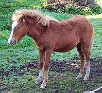 Kerry Bog Pony, Bog Village, Kerry, Ireland.jpg