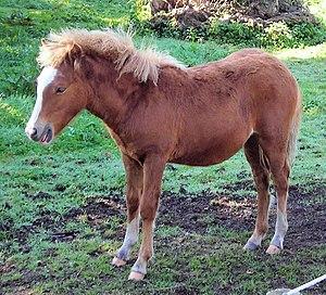 Kerry Bog Pony - Young Kerry Bog Pony
