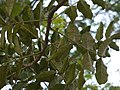 Kigelia africana (5131967717).jpg