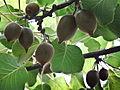 Kiwi Fruits-3048 (6778148000).jpg