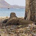 Komodo dragon (Varanus komodoensis) on Pulau Komodo - Indonesia 04.jpg