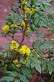 Korina 2014-03-28 Mahonia aquifolium.jpg
