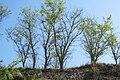 Korina 2014-04-25 Robinia pseudoacacia.jpg
