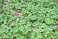 Korina 2015-06-08 Heracleum mantegazzianum 8.jpg