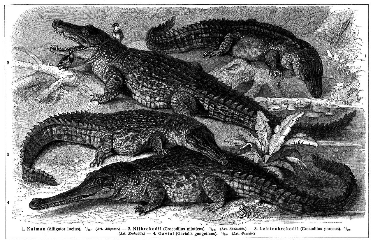 Krokodile - Wikiwand