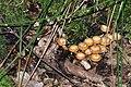 Kuehneromyces mutabilis on a rotting tree. - geograph.org.uk - 1425682.jpg