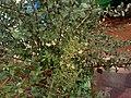 LAWSONIA INERMIS LINN fruits Marudhani fruits.jpg