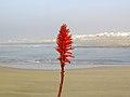 La flor de Rabat (15561328297).jpg