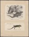Lacerta stirpium - 1700-1880 - Print - Iconographia Zoologica - Special Collections University of Amsterdam - UBA01 IZ12400075.tif