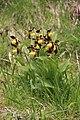 Lady's-Slipper Orchid - Cypripedium calceolus - panoramio (62).jpg