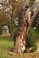 Laetiporus sulphureus (29549109302).jpg