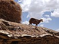 Lamb on Rooftop - Near Teka Tesfai - Ethiopia (8714446234).jpg