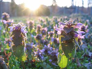 Purple Dead-nettle in afternoon sunlight
