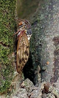 Large Brown Cicada 23aug12.jpg