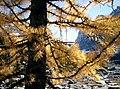 Larix lyallii Lake O'Hara5.jpg