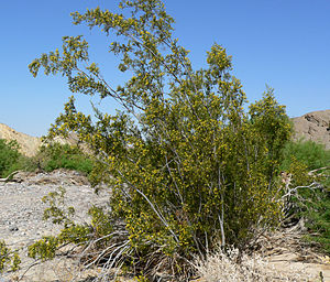 Tularosa Basin - Creosote bush—(''Larrea tridentata''), that replaced the overgrazed perennial grasslands.
