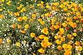 Las salinas - Oziroe arida - Eschscholzia californica (33170910114).jpg