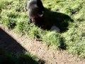 File:Lascar VIDEO - Ferocious Tasmanian Devil (Found only in Tasmania) (4552479578).webm