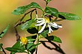 Lasioglossum sp. (26322695539).jpg