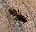 Lassioglossum sp. - Flickr - gailhampshire (2).jpg