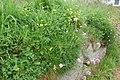 Lathyrus pratensis et Armeria maritima-6185.jpg
