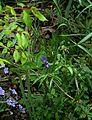 Lathyrus vernus atrocyaneus - Flickr - peganum (2).jpg