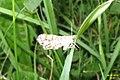 Latticed heath (Hav) (7978960248).jpg