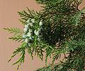 Lawson Cypress seed cones.jpg